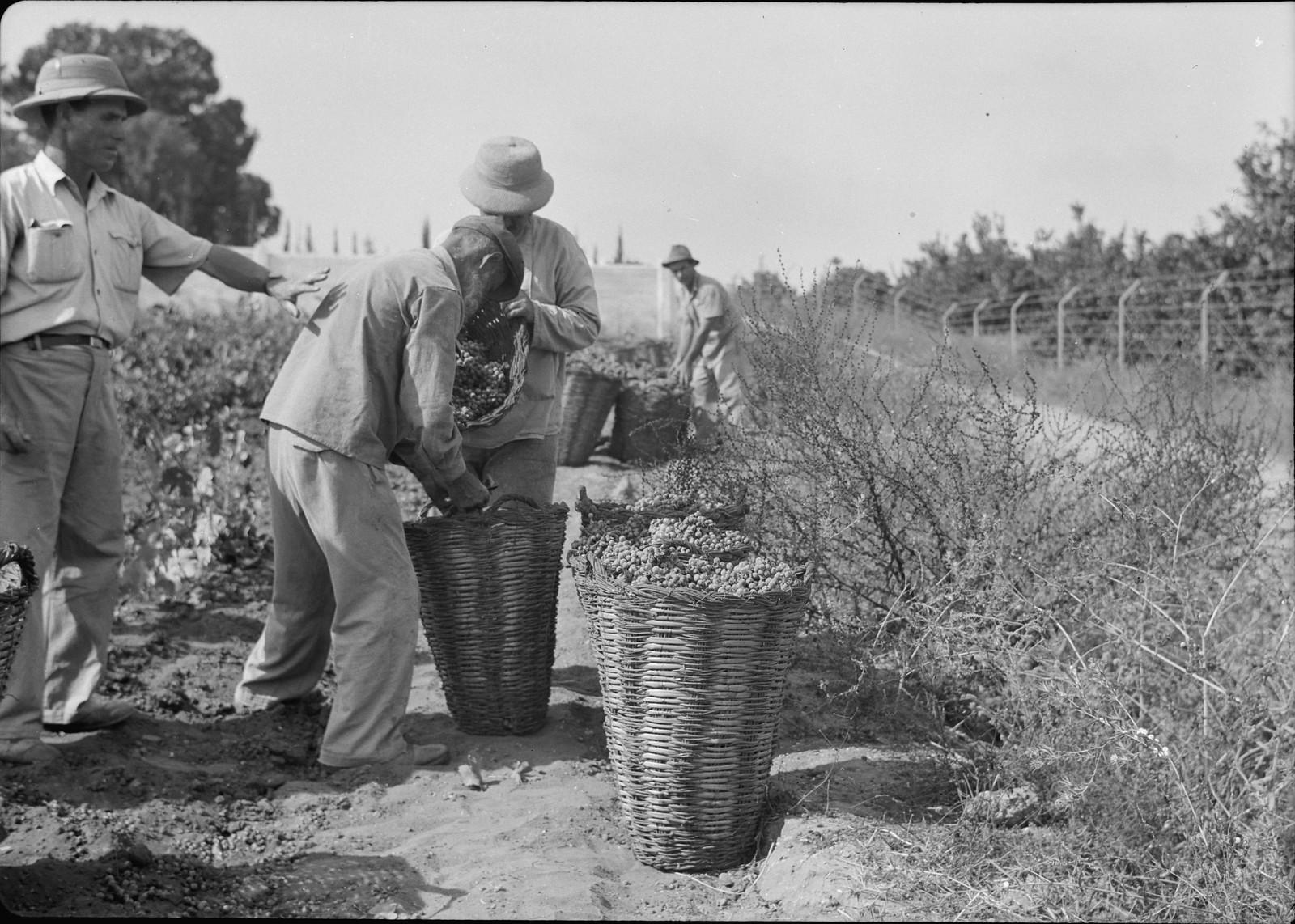 20. Собранный виноград в больших корзинах, готовых к транспортировке в подвалы