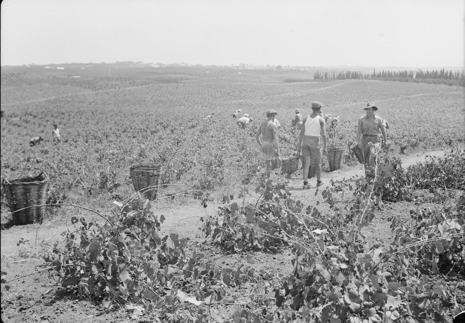18. Общий вид виноградников во время сбора винограда