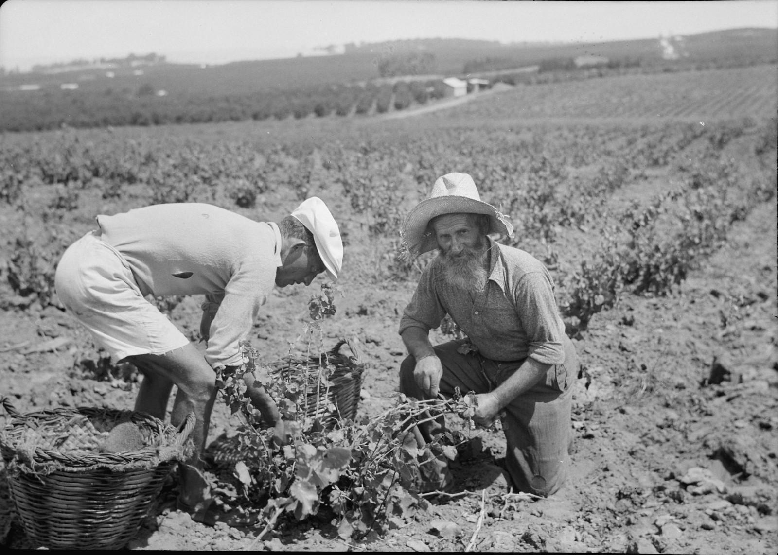 12. Сборщики винограда, старый йеменец и европейский иммигрант