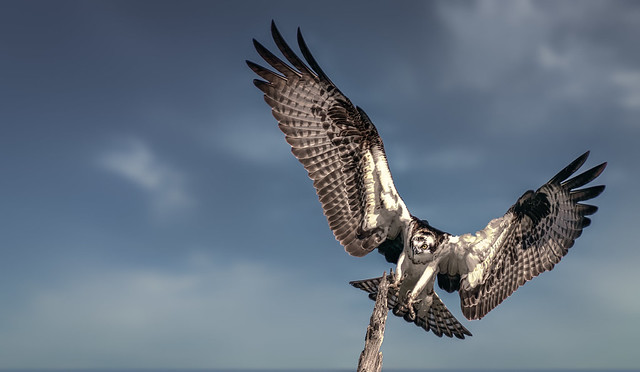 Landing approach (osprey)