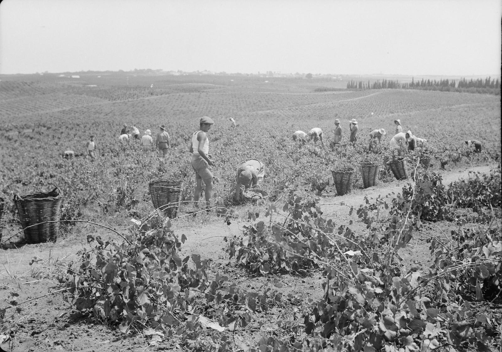 16. Общий вид виноградников во время сбора винограда