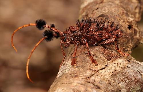Longhorn Beetle (Aristobia horridula, Lamiinae, Cerambycidae)
