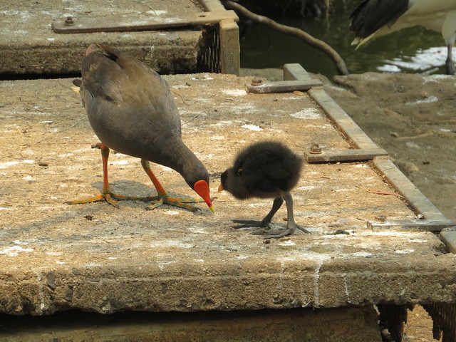 Dusky Moorhen and chick Wiley park