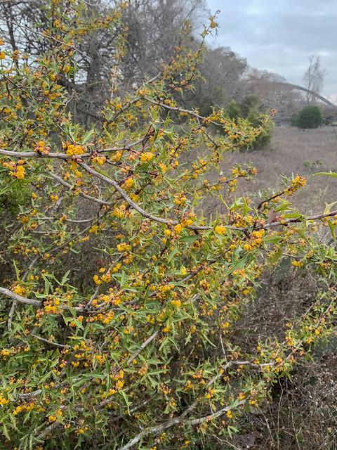 Blooming Agarita - 1 - 2