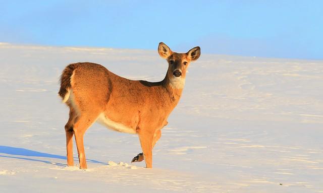 white-tailed deer doe at Lake Meyer Park IA 653A4465