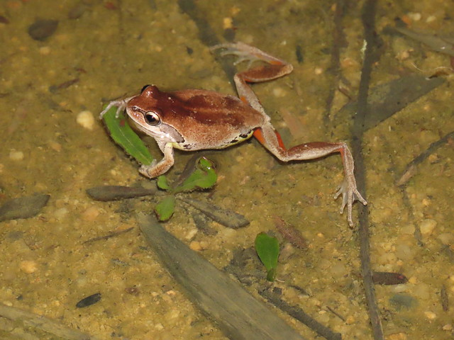 Whistling-Verreauxs Tree frog Mike Eades reserve 2