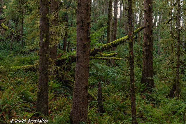 In the Oregon Pacific Coast rain forests