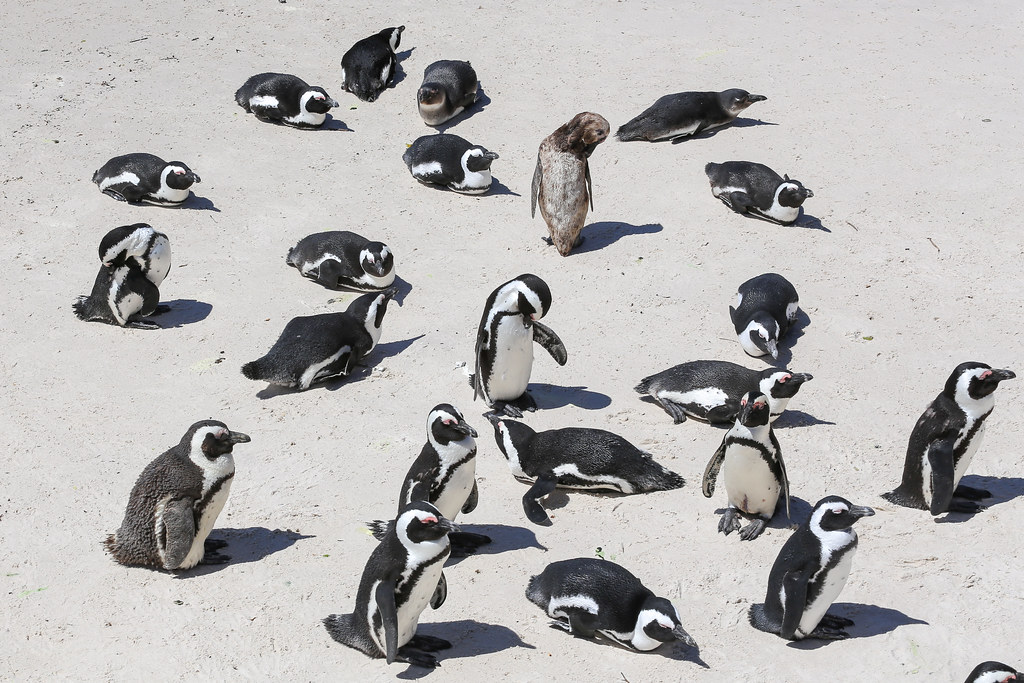 Etelä-Afrikka Kapkaupungin pingviinit