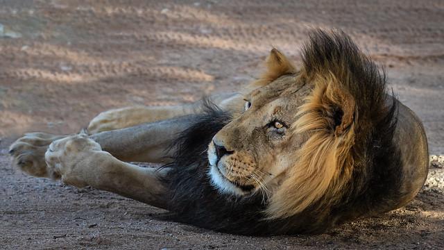 Lion -Kgalagadi NP