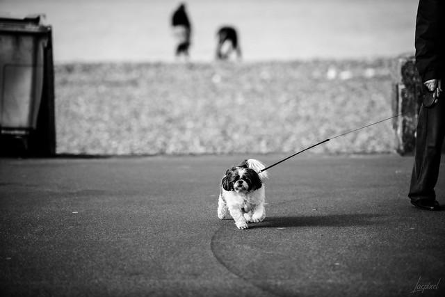 Un petit chien à Dieppe.