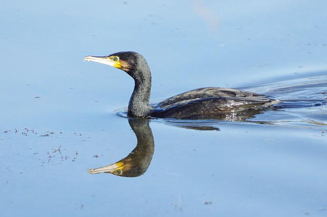 K32P6934c Cormorant, Lackford Lakes, February 2020