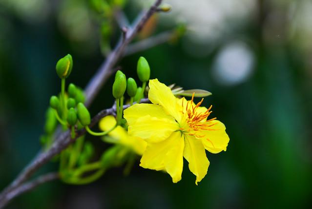 Ochna integerrima flowers in spring time