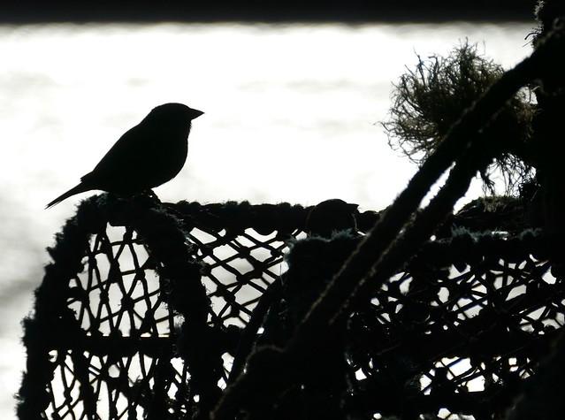 House Sparrow on a Creel