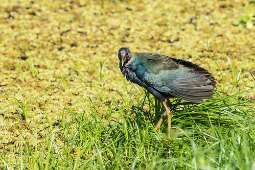 DSC09503 Purple Gallinule (juv.), Porphyrio martinica. | by jwsteffelaar