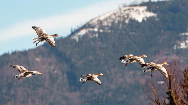 Graugänse - Gray goose flight