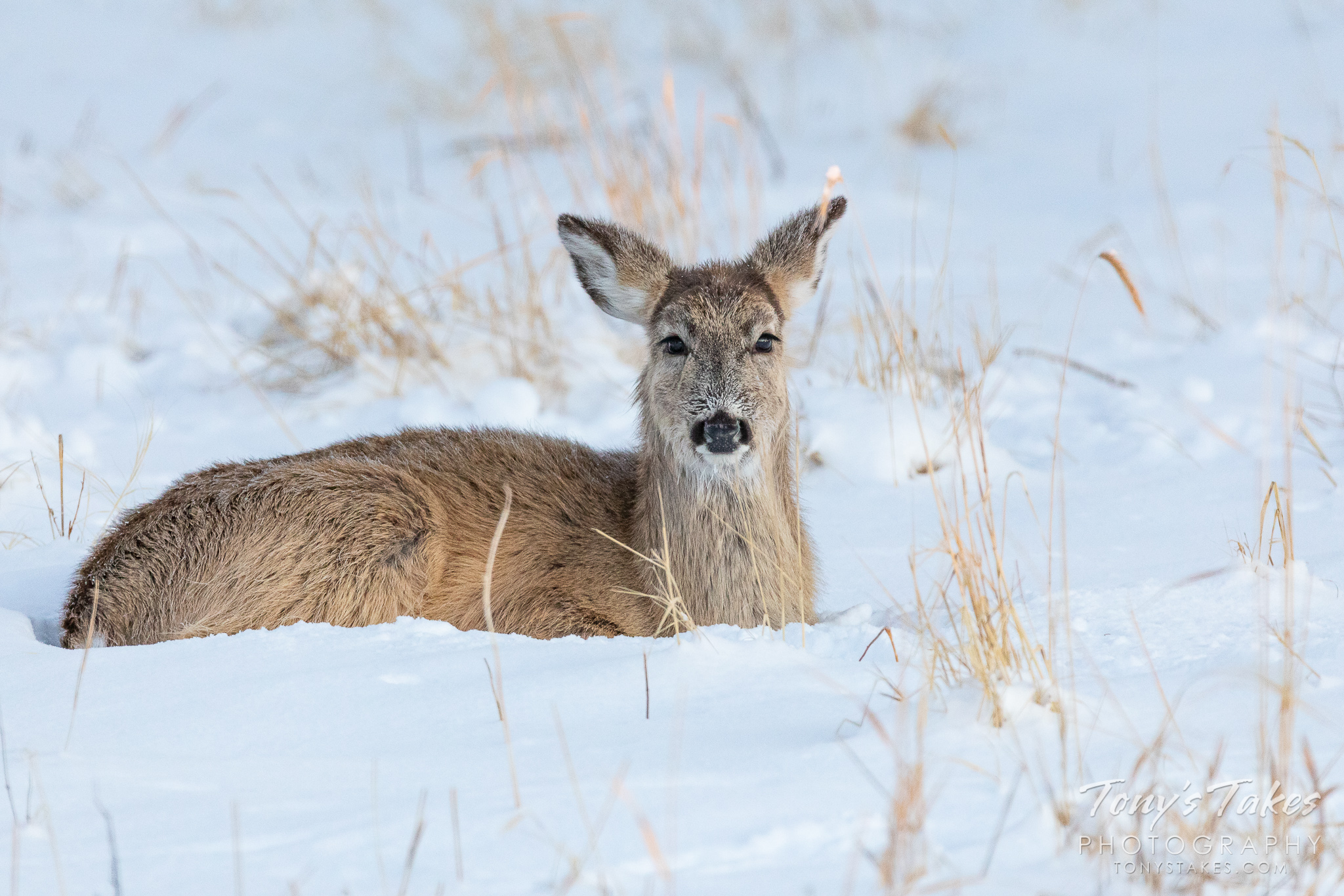 White-tailed deer doe beds down in the fresh snow