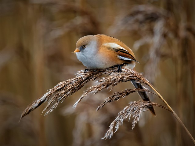 Bearded Tit (female)