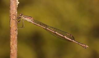 Damselfly, female (Indolestes birmanus, Lestidae)