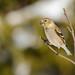 Chardonneret jaune/American goldfinch