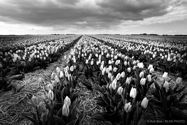 Dutch Tulips-BP80805bw