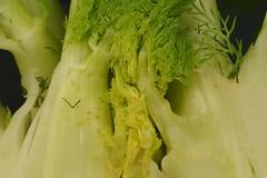 Venkel (Foeniculum vulgare)