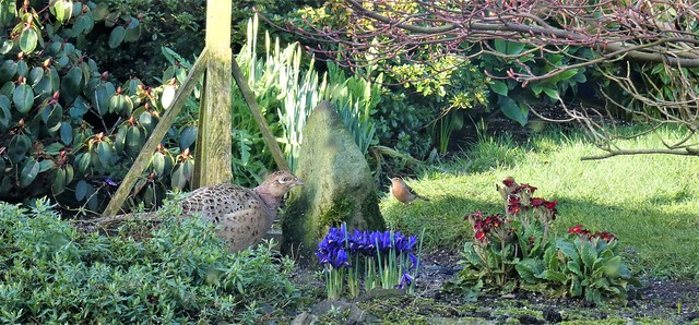 The garden:  hen pheasant appears for second day