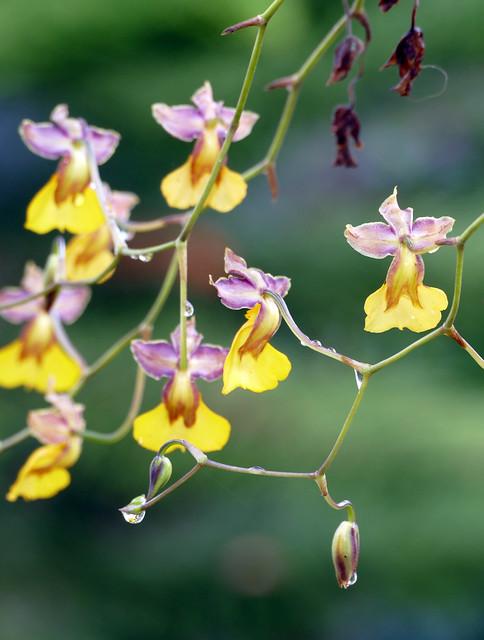 Cyrtochilum aureum species orchid 1-20