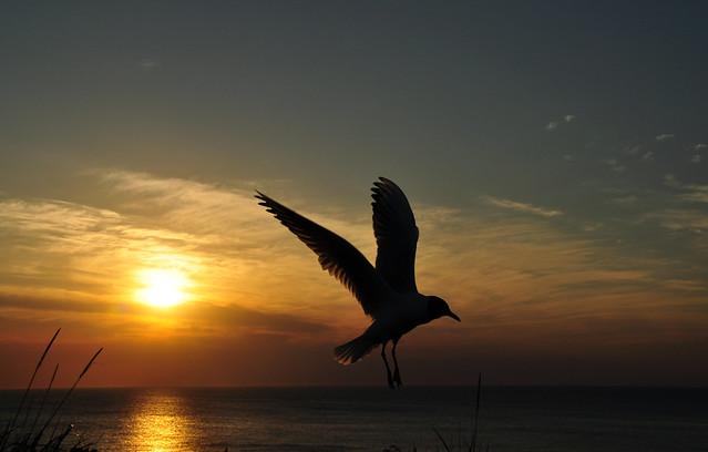 black-headed gull in sunset