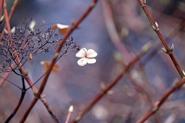 Lacecap Hydrangea / Hortensie