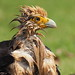 Yellow-headed Caracara (Milvago chimachima)...