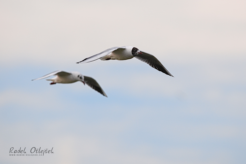 black-headed gull / racek chechtavý / chroicocephalus ridibundus, CZE, 2020
