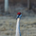Face-to-face with Sandhill Crane