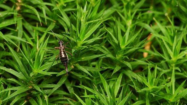 snow flea, Boreus hyemalis, female