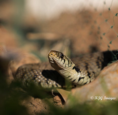 Grass Snake (Explored 17/02/2020)