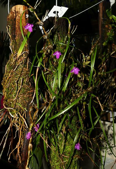 Isabelia (Neolauchea) pulchella species orchid 2-20