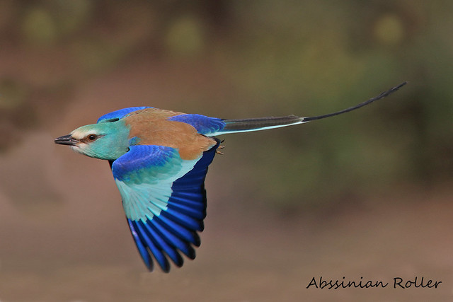 ABYSSINIAN ROLLER // CORACIAS ABYSSINICA (42cm)