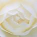 White Rose (I), 4.24.18