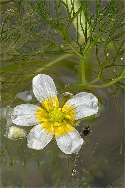 Ranunculus-trichophyllus_7