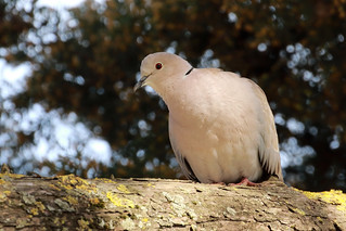Rola de colar - Streptopelia decaocto - Eurasian collared dove