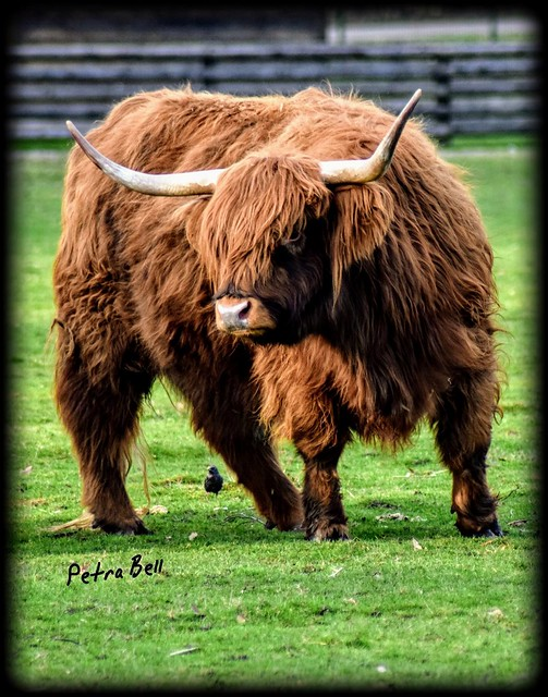 Highland cattle🐂