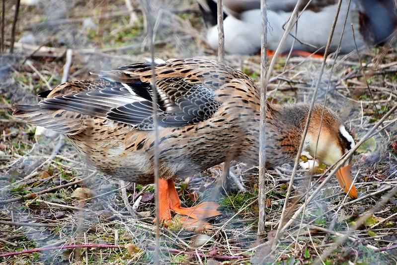 Ducks 16.02 (6)