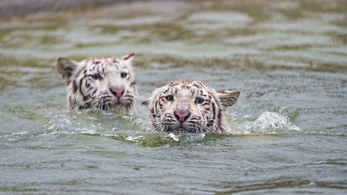 Tigresses swimming