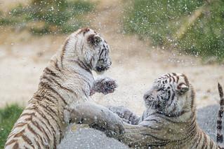 Fighting tigresses