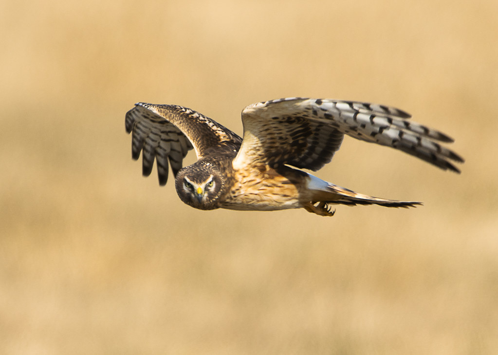 Immature Northern Harrier Flying