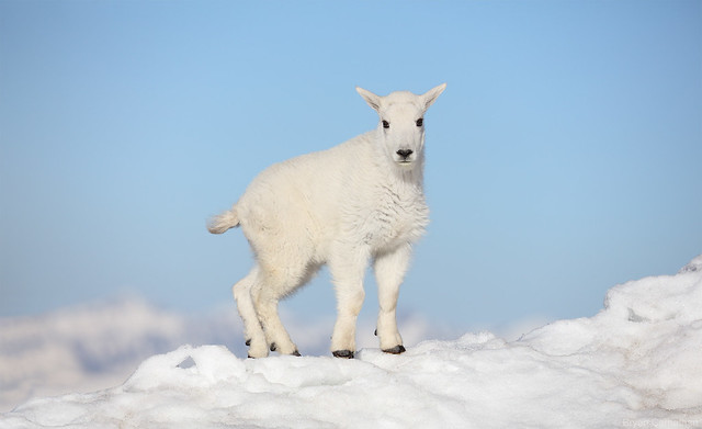 Baby Mountain Goat Against a Baby Blue Sky
