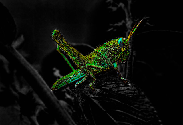 Luminescent Grasshopper