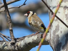 European Goldfinch - Madrona Marsh  (由  weezerbee9