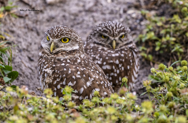 Family Burrowing owls