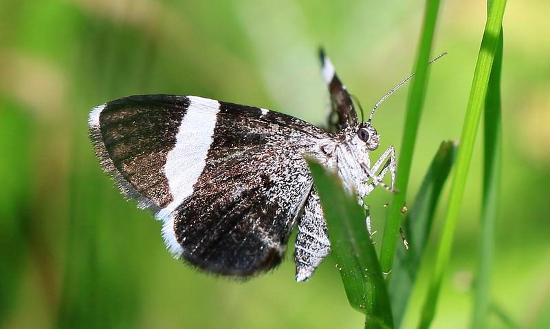 white-striped black (Trichodezia albovittata) at Lake Meyer Park IA 653A8668