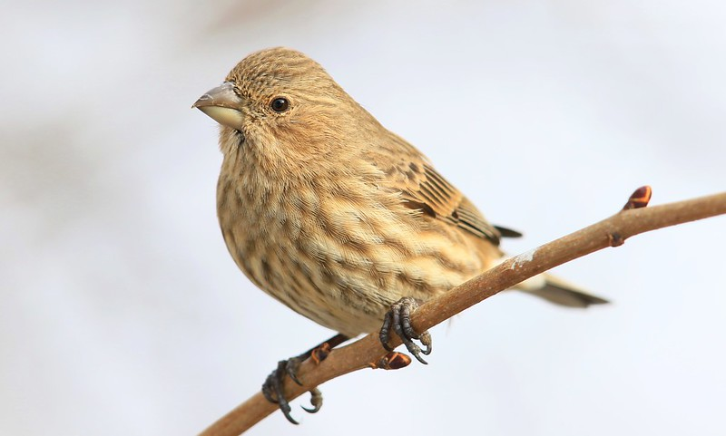 house finch female at Lake Meyer Park IA 653A4557